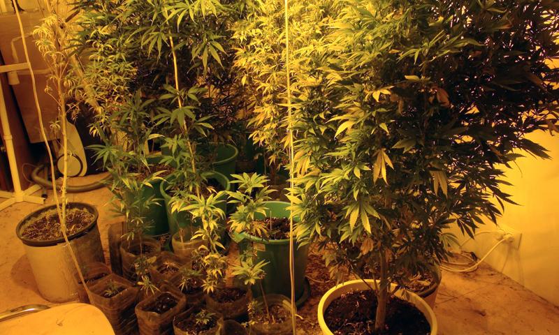 патент на марихуану